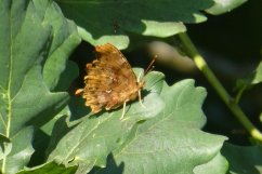 Comma butterfly, wings closed, Wheatland Farm