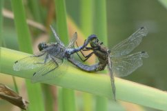 black-tailed-skimmer-wheel-wheatland-farm-devon-eco-lodge