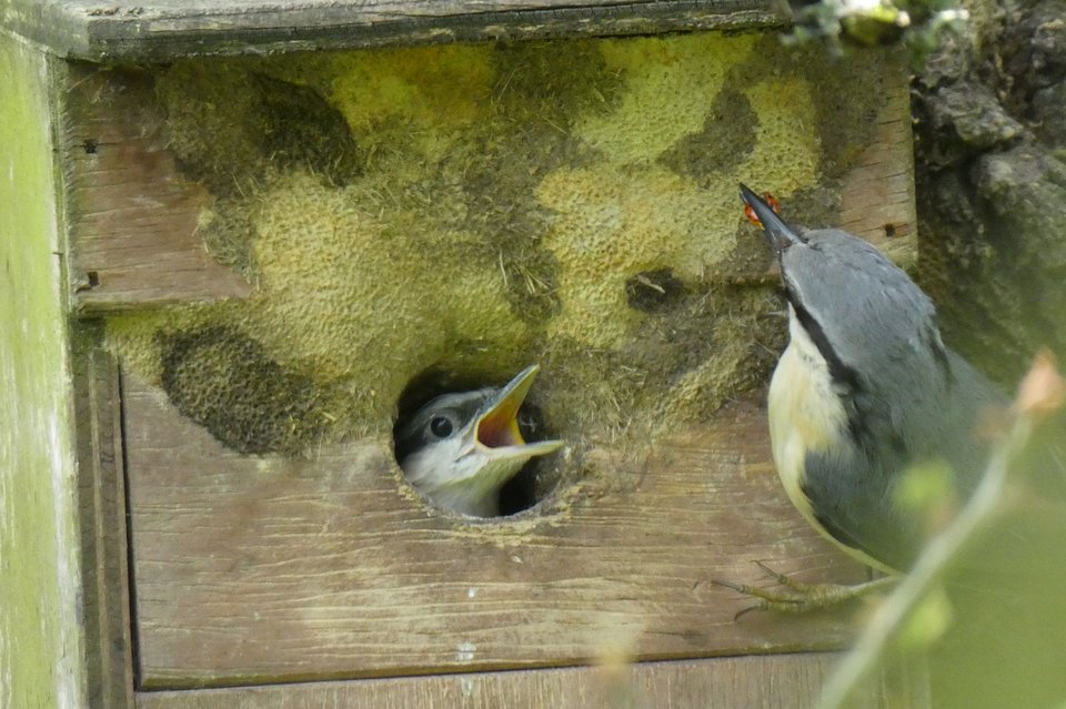 Nuthatch feeding a chick