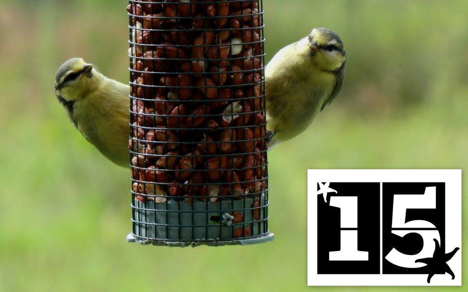 Young blue tits on the bird feeder at Honeysuckle Eco Lodge, Wheatland Farm Devon
