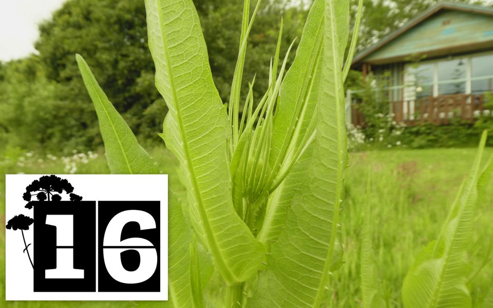 Living bird food - a teasel growing outside Nuthatch Eco Lodge, Wheatland Farm, Devon