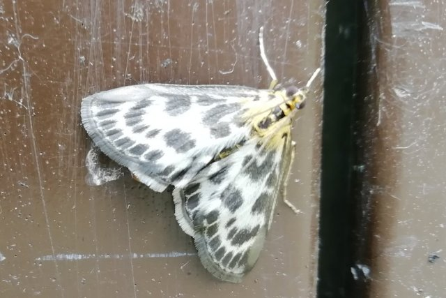 This image has an empty alt attribute; its file name is moth-unknown-like-magpie-640x427.jpg