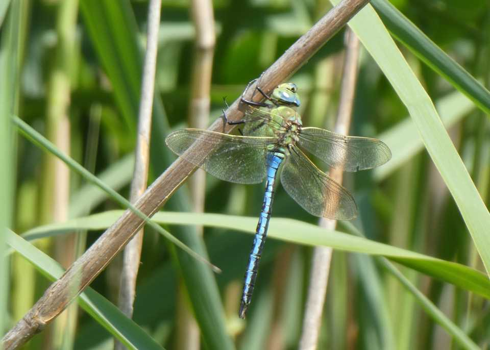 Male emperor dragonfly at Wheatland Farm's wildlife pond