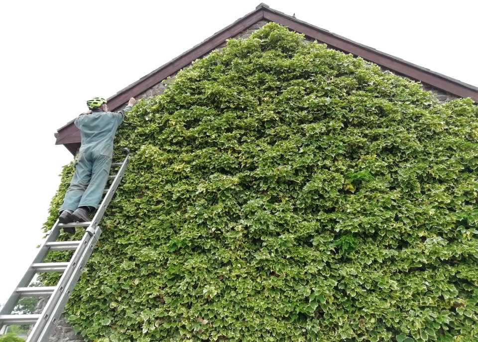 Trimming the living wall at Otter Cottage, Wheatland Farm, Devon
