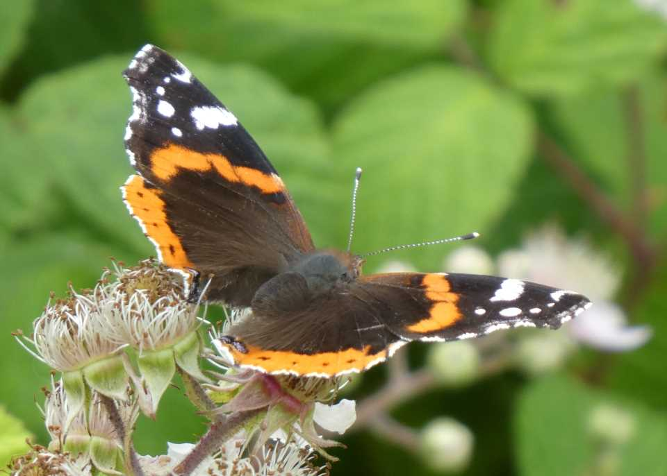 Shows a red admiral butterfly