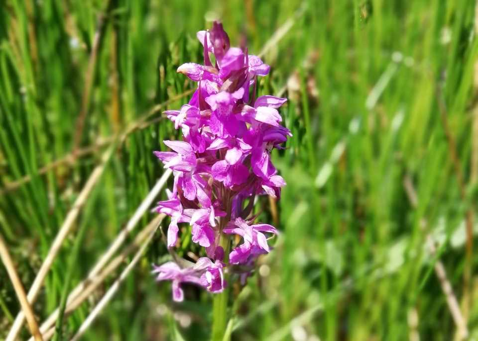 Image of a southern marsh orchid at Wheatland Farm, Devon