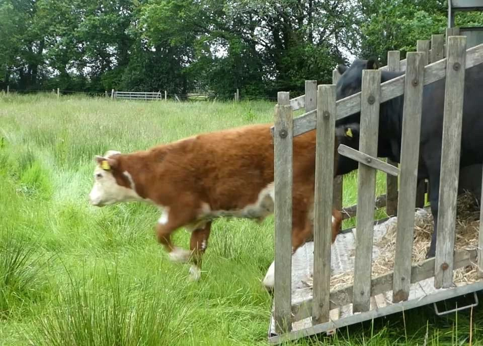 Shows the cows leaving their trailer and beginning to explore Wheatland Farm in Devon