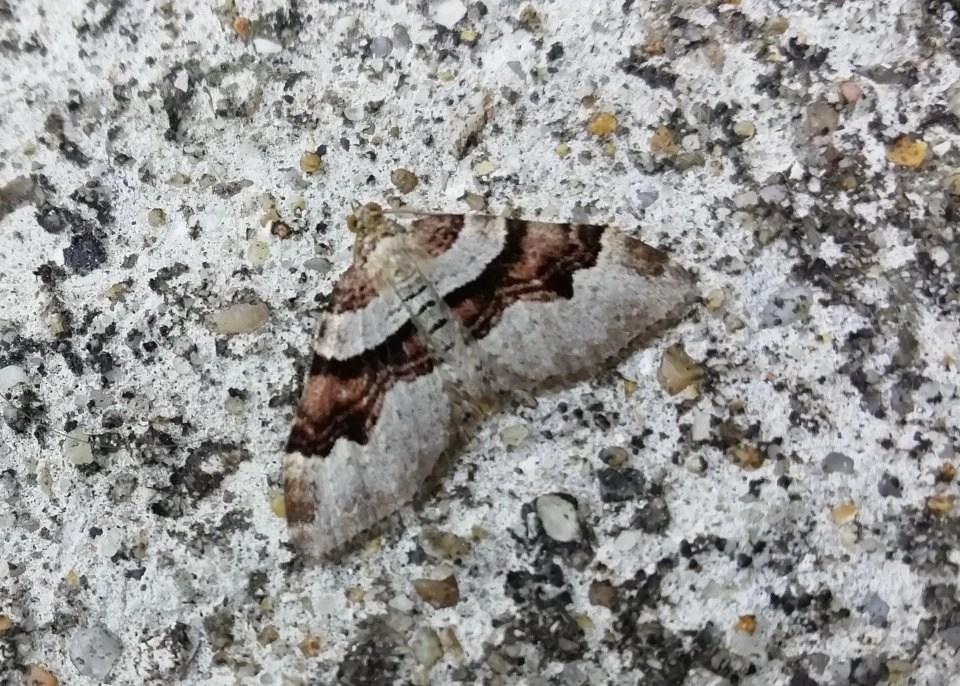 Flame carpet moth camouflaged on concrete at Wheatland Farm's Devon Eco Lodges