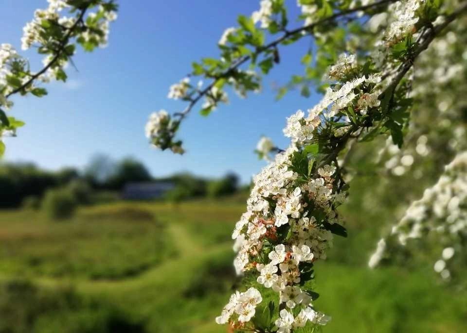 Hawthorn blossom at Wheatland Farm