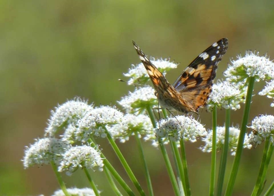 Painted Lady butterfly on an umbellifer at Wheatland Farm, Devon