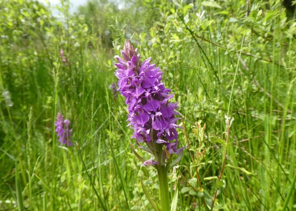 Southern marsh orchid flower spike at Wheatland Farm's Devon Eco Lodges