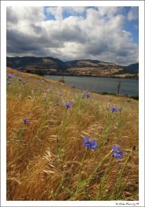 Wildflowers at Memaloose State Park
