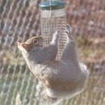 Gray squirrel hanging from bird feeder