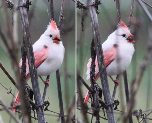 Leucistic Female Cardinal