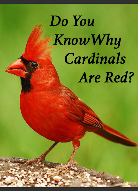 Do you know why cardinals are red?