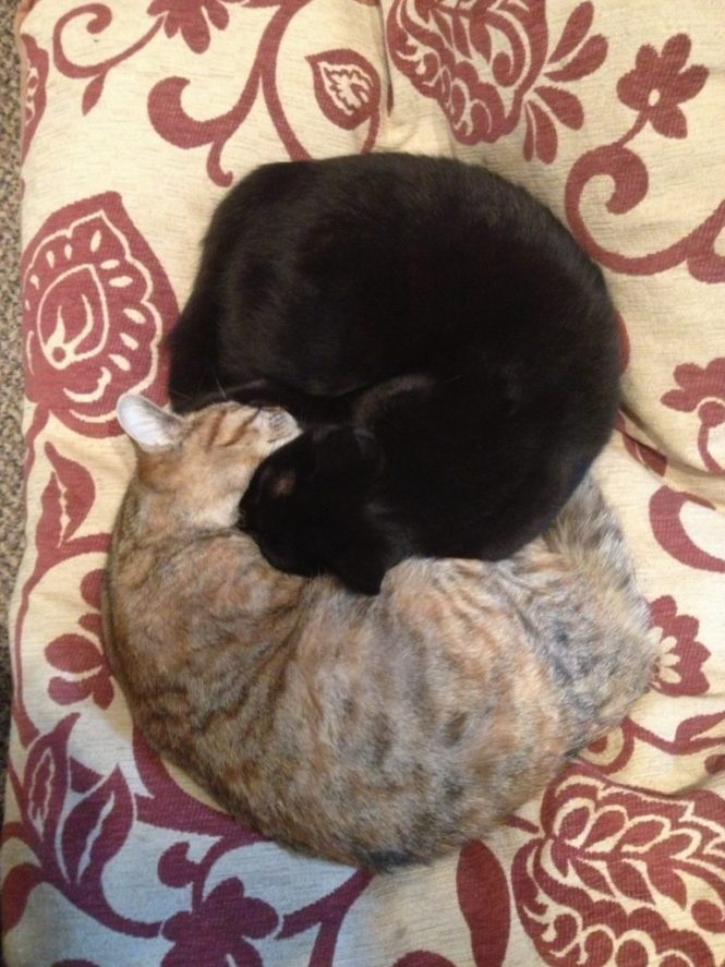 Emotional support number one: ying & yang kitties