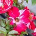 Fast Growing Roses Info and Care