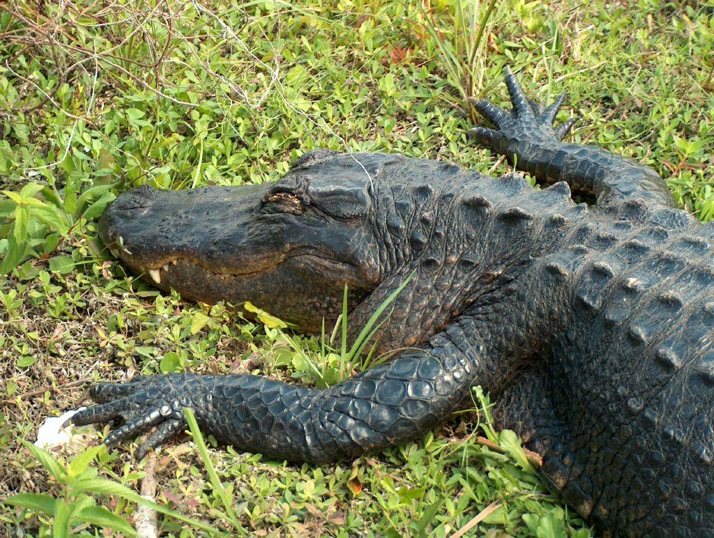 Image result for sleepy alligator