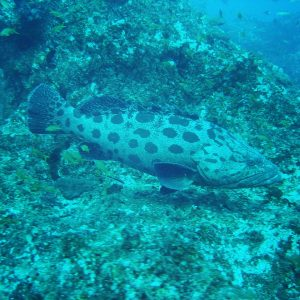 Potato grouper knew I was Irish and came out to see me.