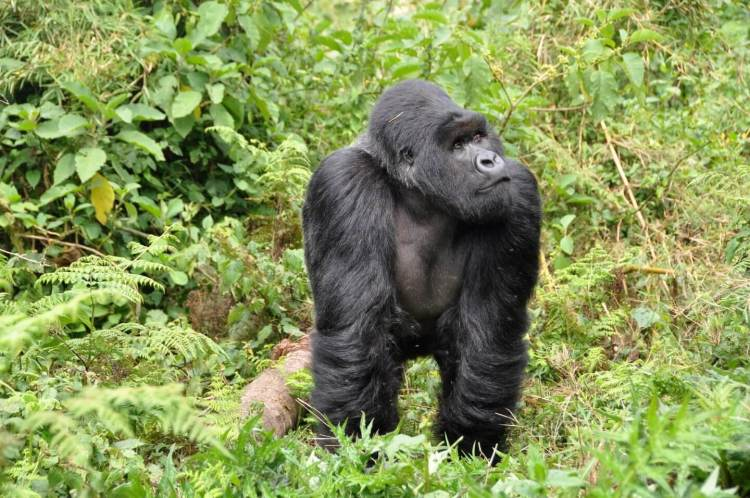 gorillas things to do in Rwanda where is tara povey top irish travel blog