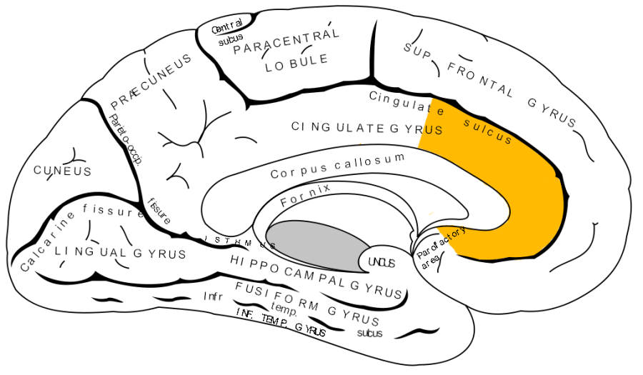"The anterior cingulate cortex (ACC) is the frontal part of the cingulate cortex that resembles a ""collar"" surrounding the frontal part of the corpus callosum."