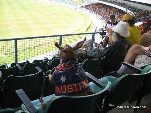 kangaroo watching the cricket in bridgetown