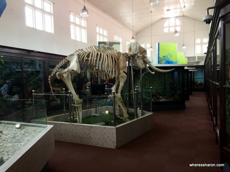 The elephant skeleton in the Natural History section of the Perak Museum.