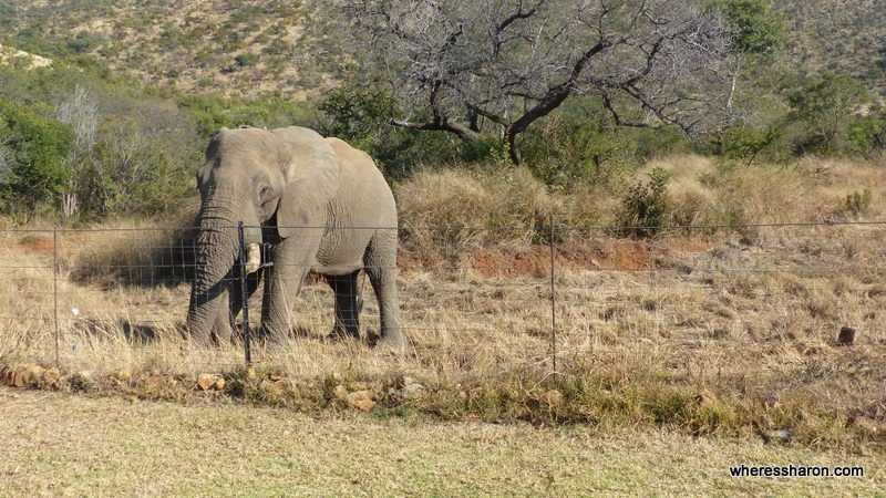 Pilanesberg National Park at ivory tree game lodge