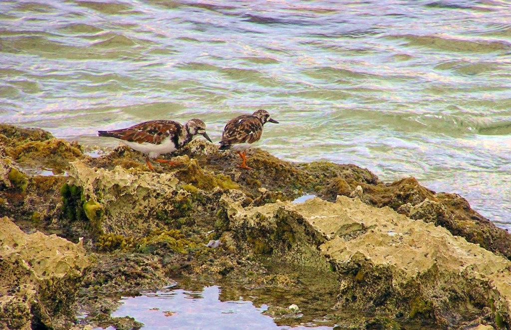 Ruddy turnstones forage for aquatic invertebrates in the rocky tidepools of Cozumel, Mexico