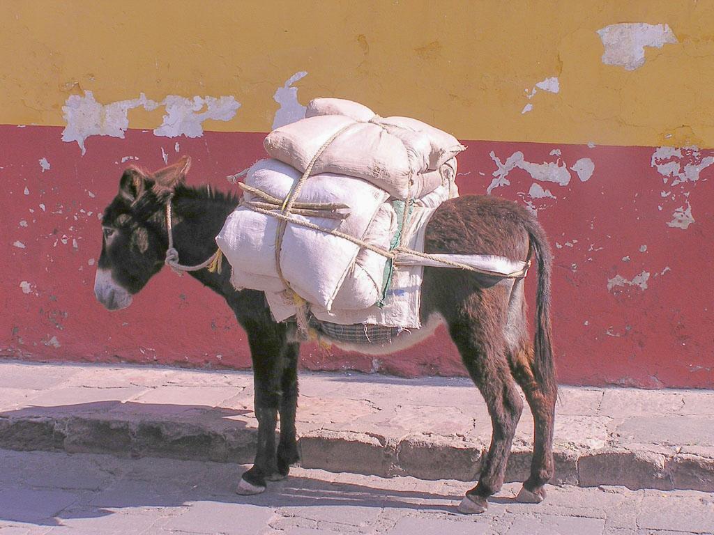 Burro of burden - a common sight in San Miguel de Allende, Mexico.