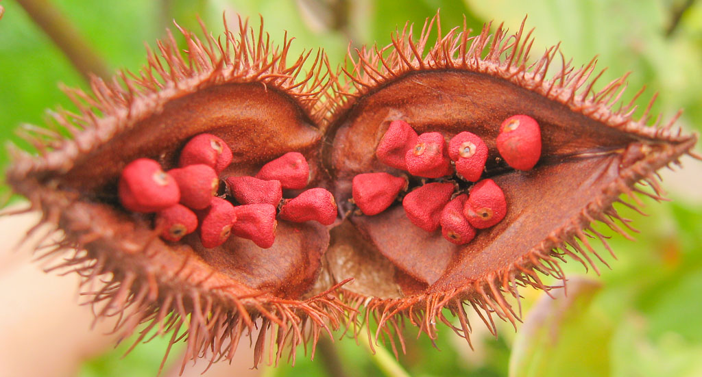 The achiote tree's seed pod. Seeds are ground with other spices to make a delicious spice paste.
