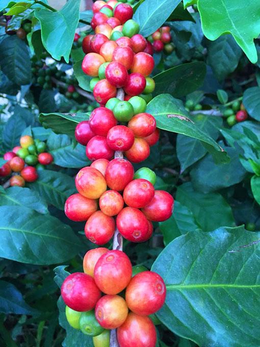 drupe-caffè-jamaica-blue-mountain