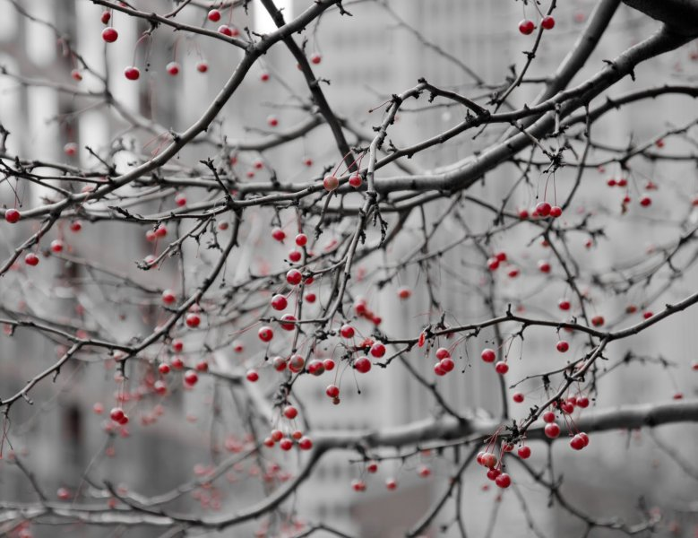 Red Berries Illinois William Woodward