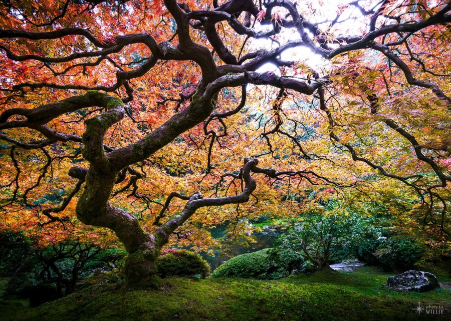 portland japanese garden maple tree william woodward
