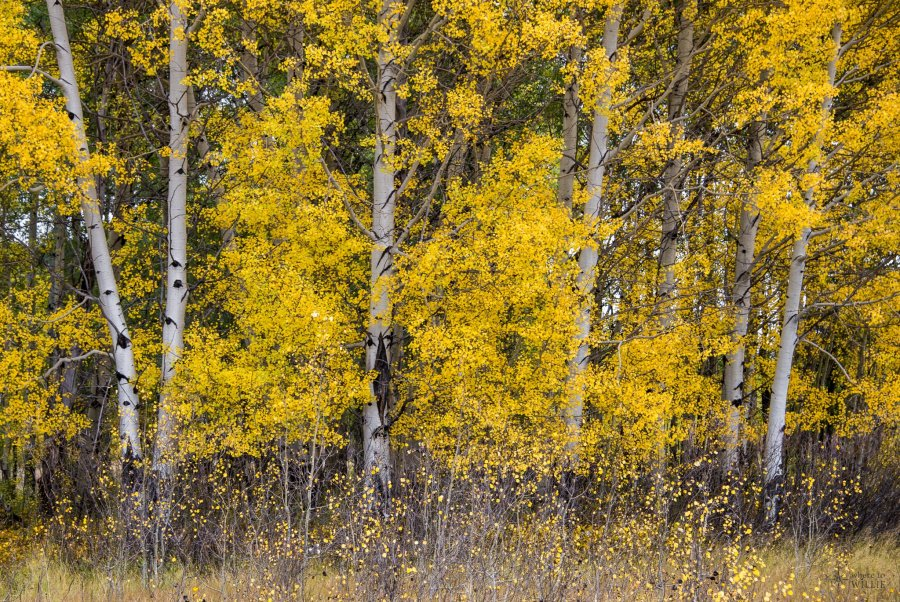 fall colors birch trees yellowstone william woodward