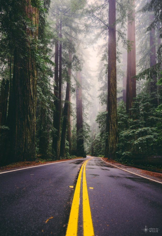 avenue of the giants redwood trees national park william woodward