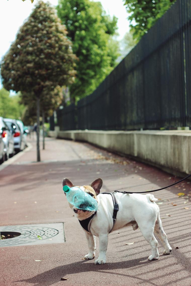 Frenchie bulldog paris