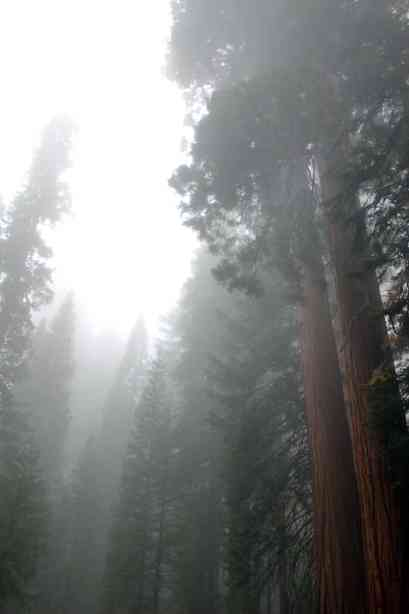 Foggy trees in Sequoia National Park