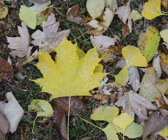 Yellow fall Maple leaf covered in snow in Toronto
