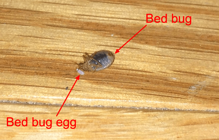 how to prevent bed bugs while traveling - bed bug on back next to bed bug egg