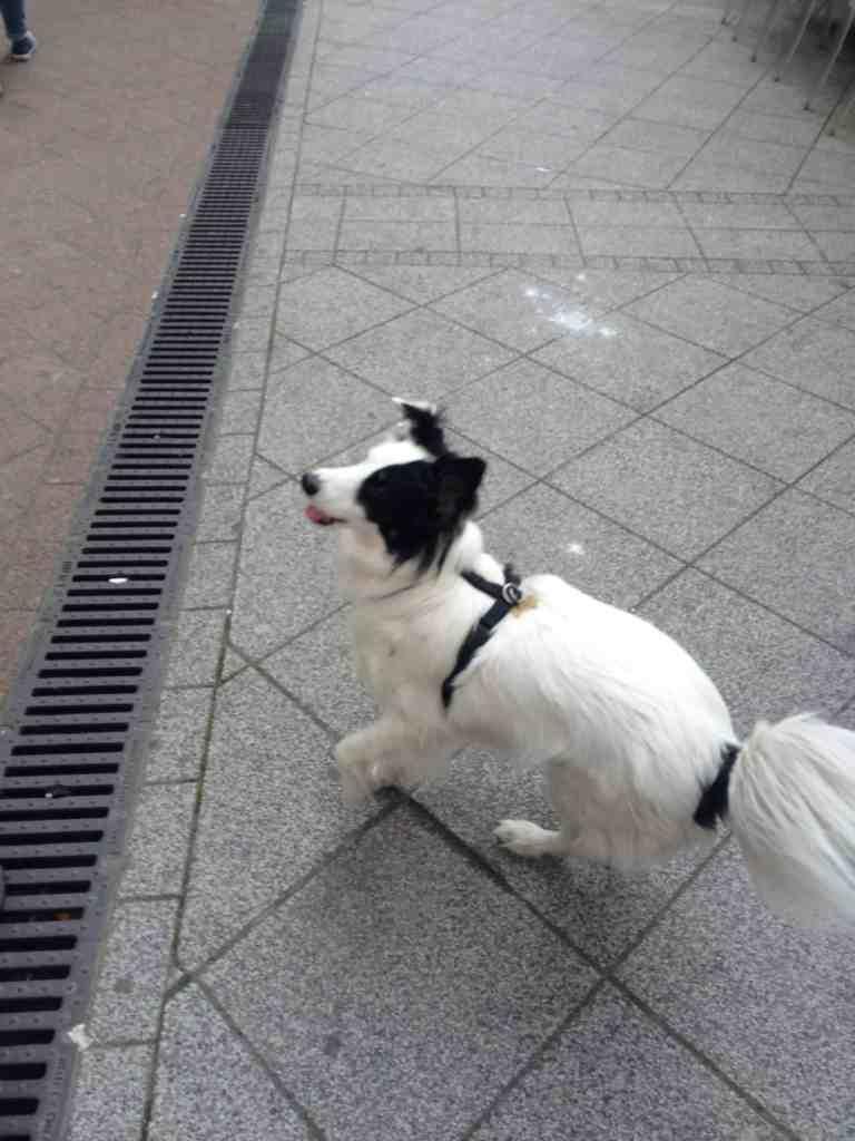 street dog Misa