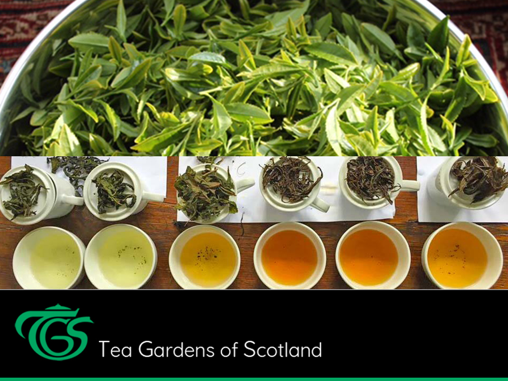Tea gardens of Scotland
