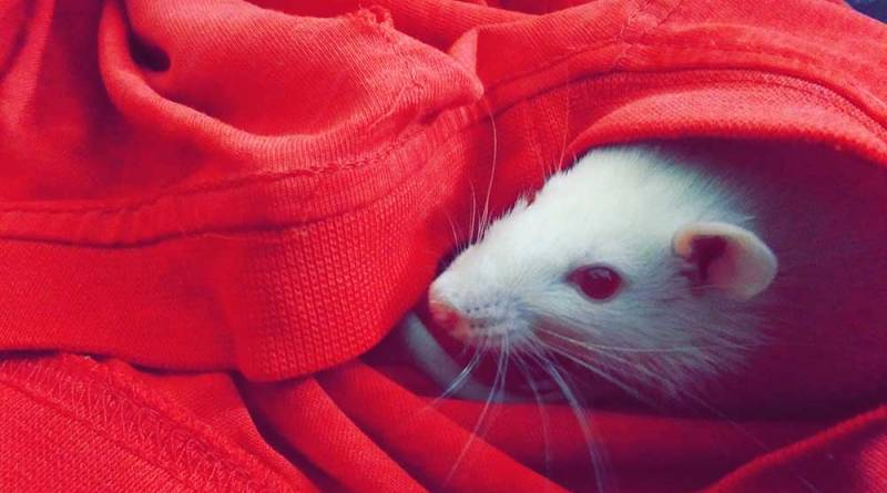 Pet Rat Names – find the perfect names for your fancy rats