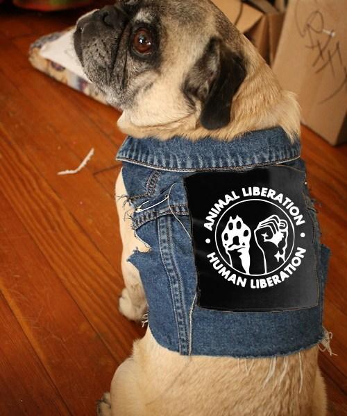 animal-liberation-pug-in-vest