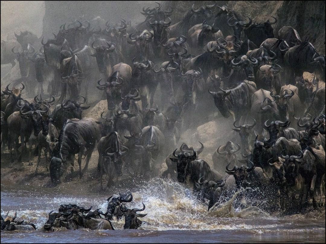 wildebeest-mara