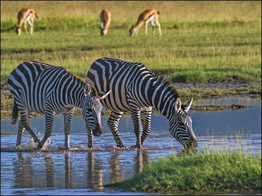 zebra-ngorongora