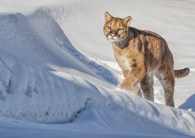 Puma Stalking its Prey