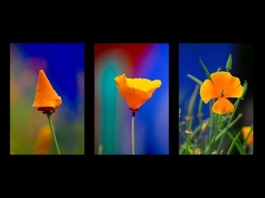 HC - Tangerine Californian Poppies - Kathleen Dodds