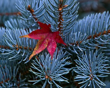 Leaf in conifer tree