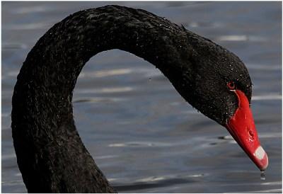BLACK MUTE SWAN